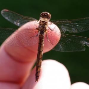 Chudák vážka má ukousnutý kousek křídla.