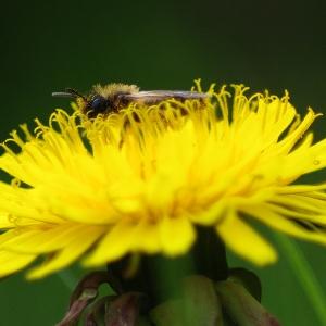 Medící si včela.
