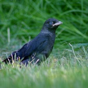 Kavka v trávě.