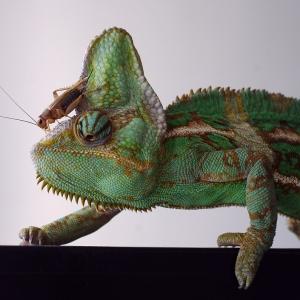 Chameleón Cyril se cvrčkem na hlavě.