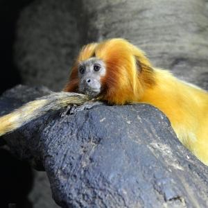 Opička odpočívá na ocase.