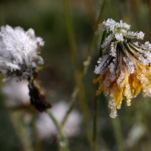 Zmrzlé květy.