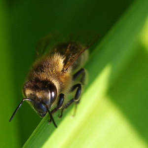 Včela na odpočinku mezi listy.