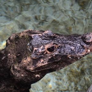 Odpočívající krokodýl.