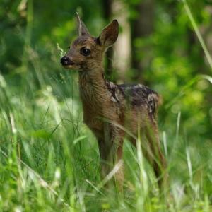 Mládě srny v trávě.