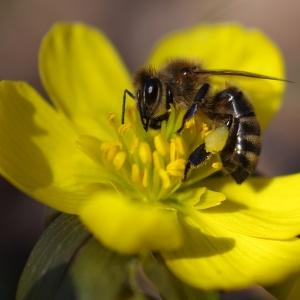 Včela na talovínu.